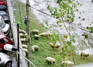 Näkymä laitakaupungin hotellin ikkunasta. Mies paimentaa lampaitaan.