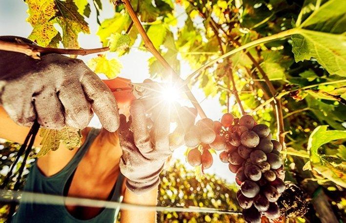 Sadonkorjuukausi – Toscana, Italia Tämänvuotinen Festa Dell'Uva (viinirypälefestivaali) järjestetään Imprunetassa syyskuun 27. päivä. Harvassa maassa otetaan syksyn sadonkorjuu yhtä vakavasti kuin Italiassa. Päivämäärät vaihtelevat säiden mukaan, mutta sadonkorjuujuhlia ('Sagre') järjestetään vuosittain ympäri maata kunnioittamaan kaikkea viinirypäleistä kastanjoihin, sieniin, kurpitsoihin ja jopa polentaan. Syyskuun puolivälistä varhaiseen lokakuuhun on hyvä aika käydä Italian ruokaperinteen kehdossa Toscanassa. Tuolloin sää on päivisin polttavan kuumaa kesää leudompi ja iltaisin miellyttävän viileä. Myös ympäristö on syksyllä täynnä maalaiselämän värejä, ääniä ja tuoksuja. Toscanan syksyssä voit osallistua muun muassa ikiaikaiseen viinirypäleen korjuun perinteeseen ('Vendemmia') sekä oppia paikallisista viineistä ja niiden valmistuksesta. Lisäksi voit käydä keräämässä tryffeleitä Toscanan metsissä ja maistella paikallisia oliiviöljyjä.