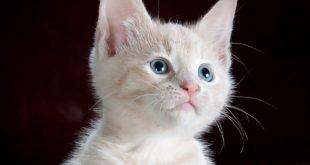 Ihmisille tarkoitetut särkylääkkeet eivät sovi kissalle